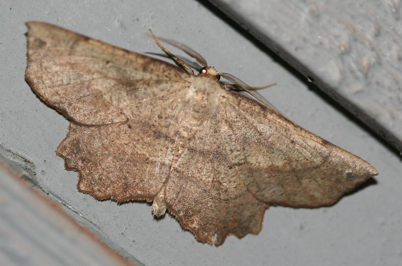 Obtuse Euchlaena Moth <br /> Euchlaena obtusaria
