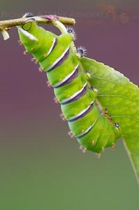 Cincta Moth larvae Rothschilda cincta
