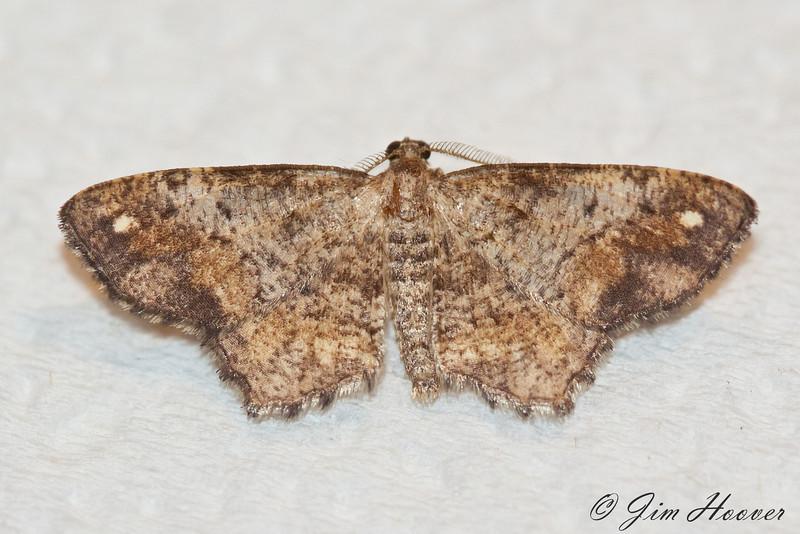 One-spotted Variant Moth<br /> Hypagyrtis unipunctata
