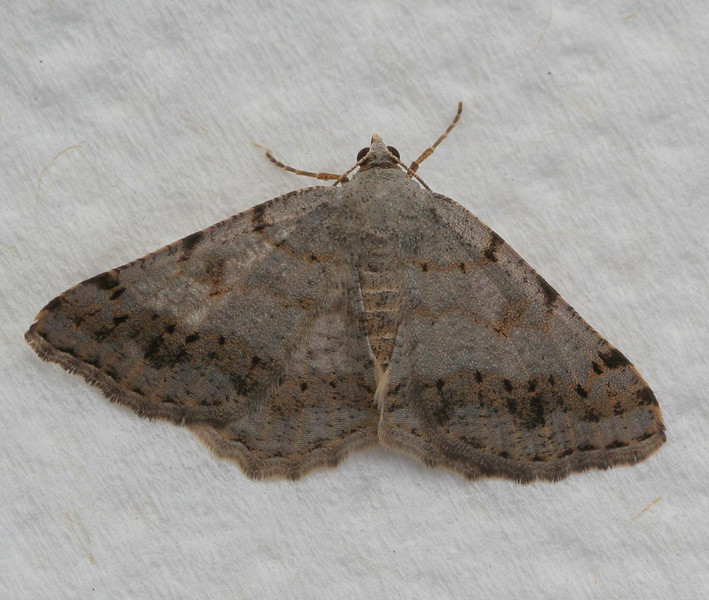 Faint-spotted Angle Moth<br /> Macaria ocellinata