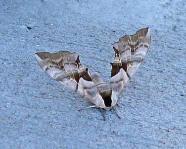 One-eyed Sphinx Moth