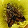 A Matutinal Flower Moth (Schinia mitis)