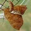 Lesser Grapevine Looper Moth (Eulithis diversilineata)