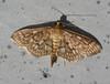 Zigzag Herpetogramma Moth<br /> Herpetogramma thestialis