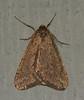 Spring Cankerworm - 6662<br /> Paleacrita vernata