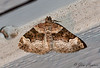 Toothed Brown Carpet Moth <br /> Xanthorhoe lacustrata <br /> Jefferson Hills, PA