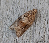 Red-banded Leafroller (female) - Hodges #3597<br /> Argyrotaenia velutinana