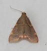 Dolichomia binodulalis - Hodges #5530