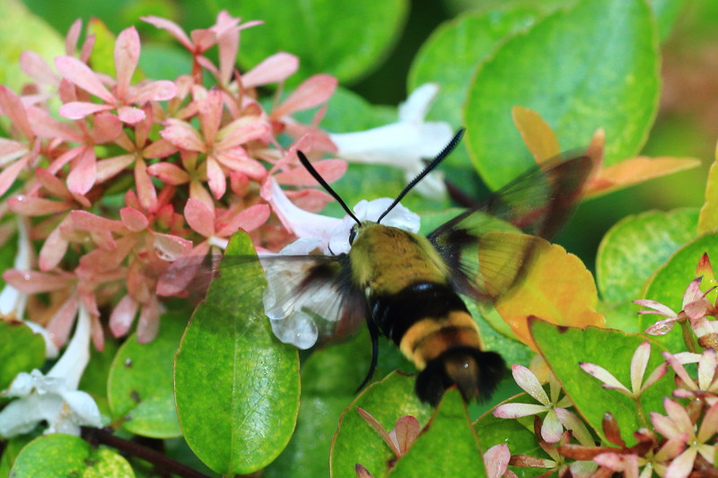Snowberry Clearwing- Wood County Arboretum