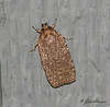Agonopterix Moth
