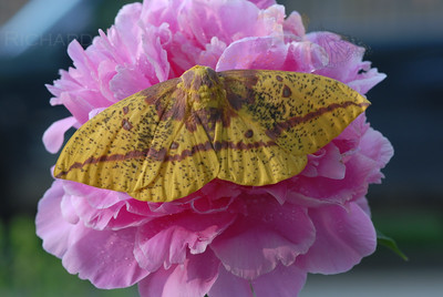 Imperial Moth Eacles imperalis