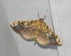 Basswood Leafroller Moth - 5241<br /> Pantographa limata <br /> Arlington, VT