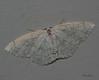 Sweetfern Geometer Moth <br /> Cyclophora pendulinaria