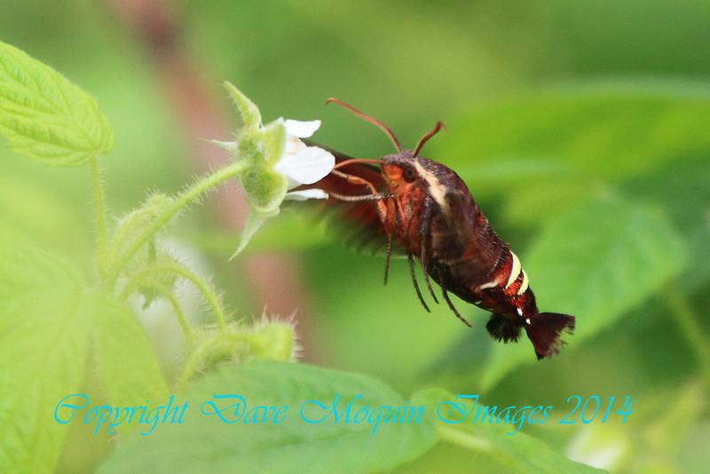 Nessus Sphinx Moth- Sherburne NWR