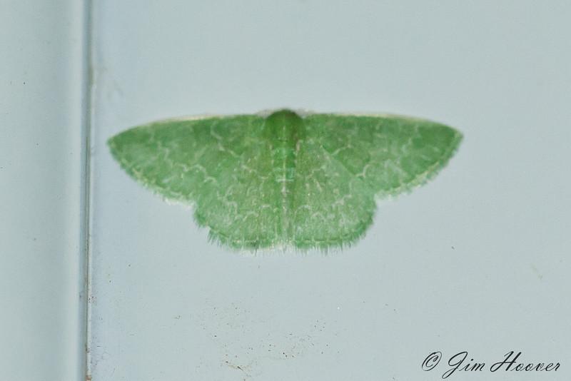 7059 - Southern Emerald Moth <br /> Synchlora frondaria<br /> Portal, AZ