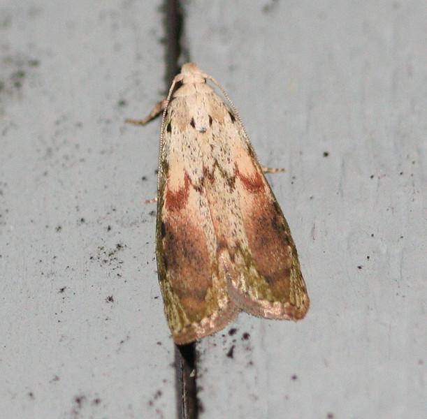 The Bee Moth <br /> Aphomia sociella