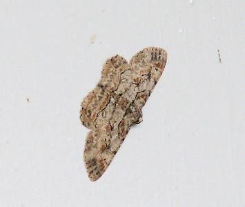Common Gray Moth