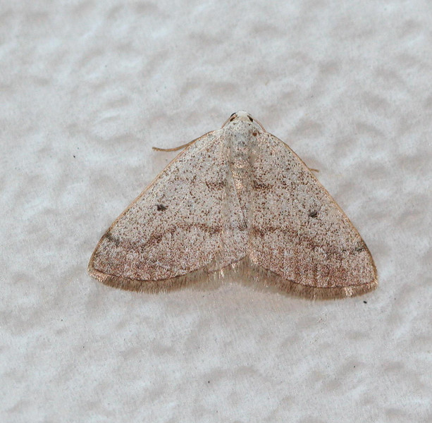 Gray Spring Moth - Hodges #6668<br /> Lomographa glomeraria