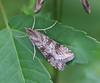 Lucerne Moth <br /> Nomophila nearctica