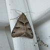 This is a Forage Looper Moth (Caenurgina erechtea). I found it resting in our front porch.