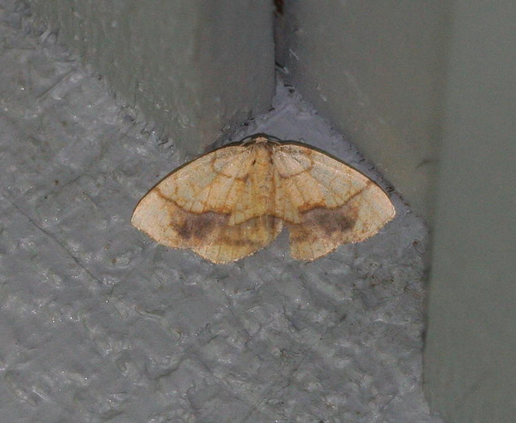 Horned Spanworm Moth<br /> Nematocampa limbata