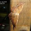 Euchlaena species