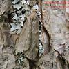 6258 Fall Cankerworm Moth (Alsophila pometaria)