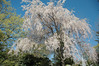 Weeping cherry?