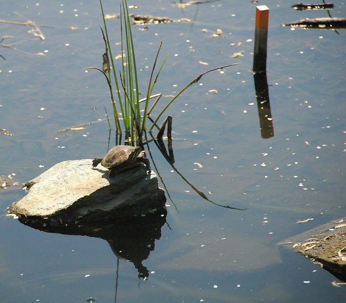 Turtle at Willow Pond