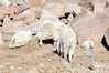 Mountain goats on Mount Evans.