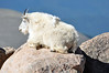 """Spending year round above treeline, Mountain Goats have a wooly undercoat to help insulate them from the bitter cold...""<br /> --Guide to Mount Evans (U.S. Forest Service)"