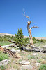 Mount Goliath Research Natural Area. Rocky Mountain Bristlecone Pine.