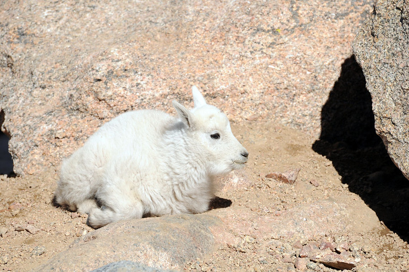 Baby mountain goat on Mount Evans.