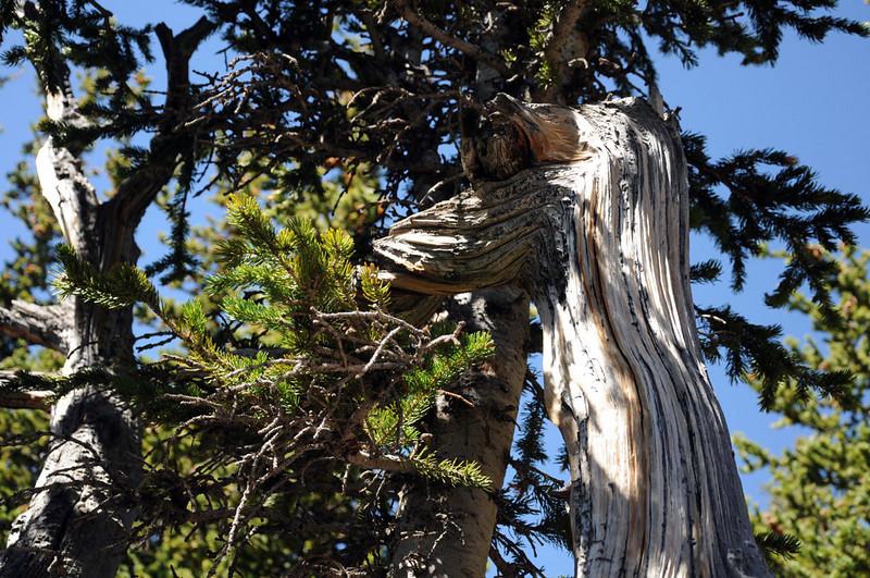 Mount Goliath Research Natural Area. Rocky Mountain Bristlecone Pine.