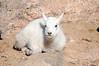 Baby mountain goat on Mount Evans.