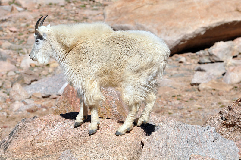 Mountain goat on Mount Evans.