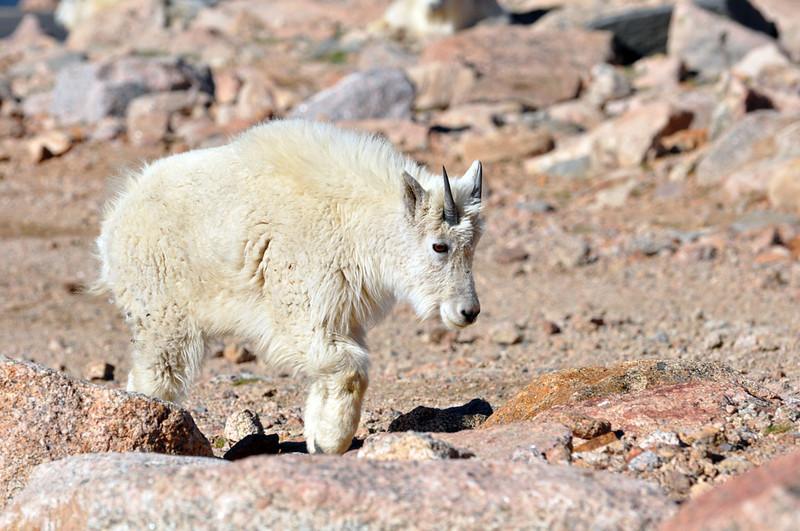 Mountain goat on Mount Evans.