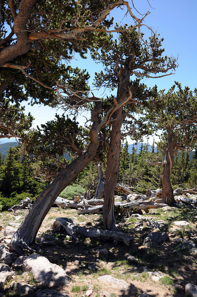 Mount Goliath Research Natural Area. Rocky Mountain Bristlecone Pine grow twisted for a stronger foundation against extreme winds.