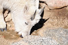 """... There are now as estimated 90 to 100 mountain goats in the Mount Evans region. They tend to herd together and are most frequently sighted in the rocky cliffs above timberline.""<br /> --Guide to Mount Evans (U.S. Forest Service)"