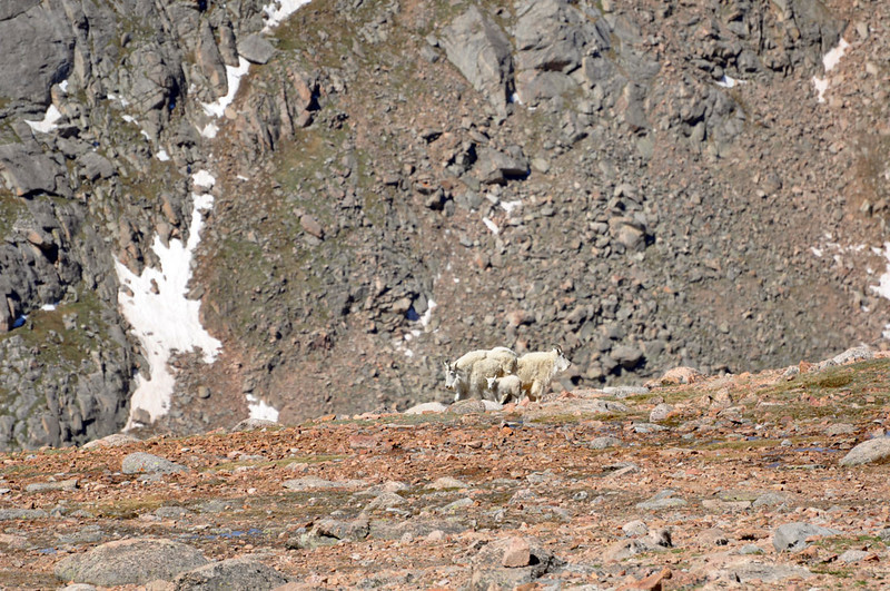 Mountain goats in the Alpine zone (above 11,500 ft) of Mount Evans.