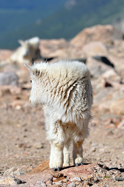 Baby mountain goats on Mount Evans.