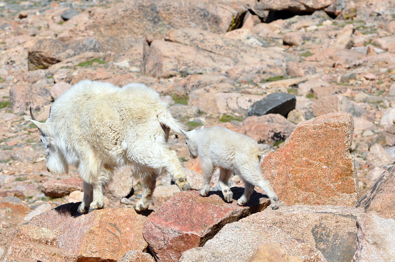 Mother and baby mountain goats on Mount Evans.