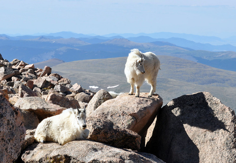 """Mountain goats are not native to Colorado. Mountain goats natural southern range was northern Wyoming. The first goats were released in the Mount Evans area in the late 1950s and early 1960s..."""