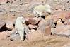 Mountain goats on Mount Evans.