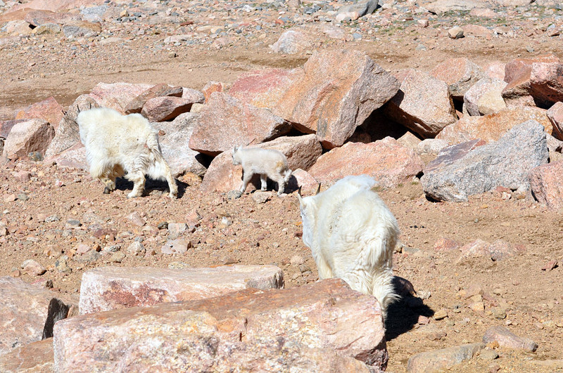 Small herd wanders toward lower ground on Mount Evans.