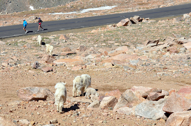 Runners and sheep heading downhill from the top of Mount Evans.