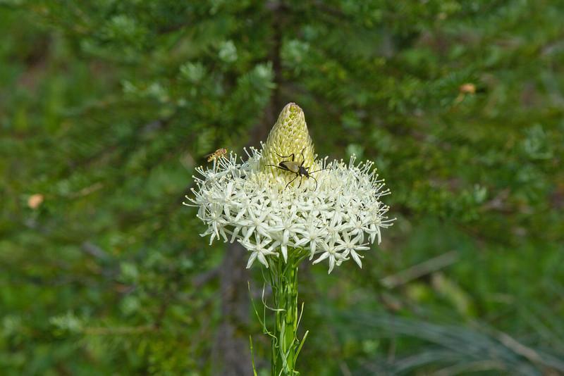 Mount Rainier 20 Bear Grass bloom N