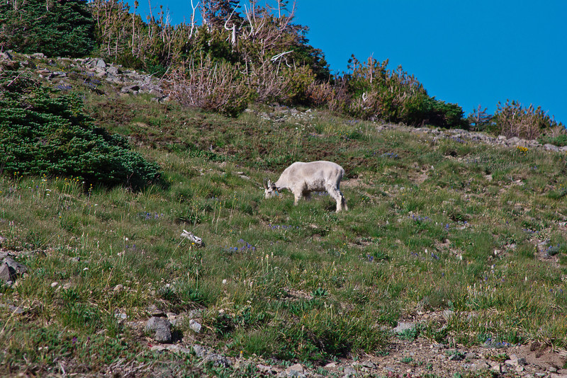 Mount Rainier 2 Goat E