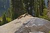 Mount Rainier 11 Marmot