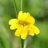 primrose monkeyflower_DSC_0533